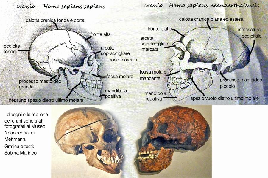 Cranio di Sapiens e