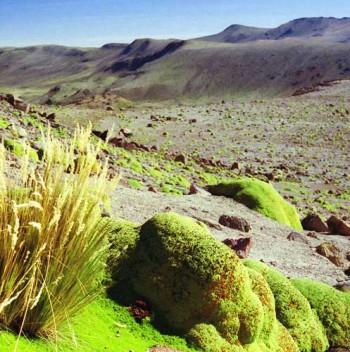 Yareta_Peru-CC BY-SA 2.5Professorbikeybike