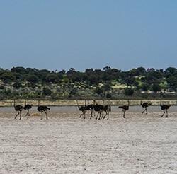Struzzi nel semideserto del Kalahari