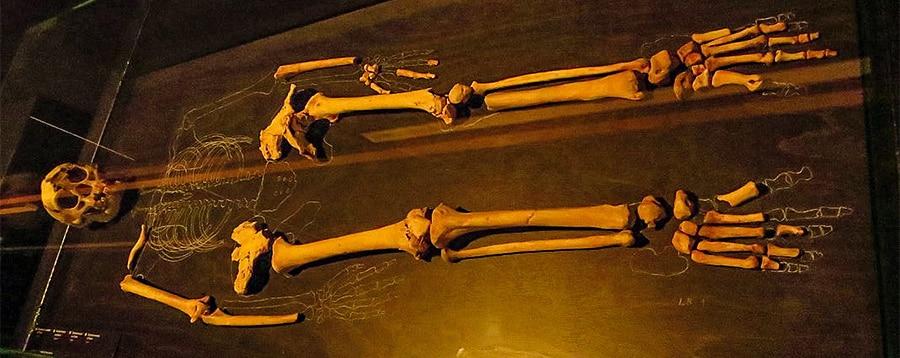 Scheletro dell'Homo Floresiensis che visse almeno sino a 50.000 in Indonesia e i cui resti sono stati trovati nella grotta di Liang Bua. Questa specie misurava in media circa 97 cm. Istituto di Scienze Naturali, Belgio. Foto: Ghedoghedo CCBY SA 4.0
