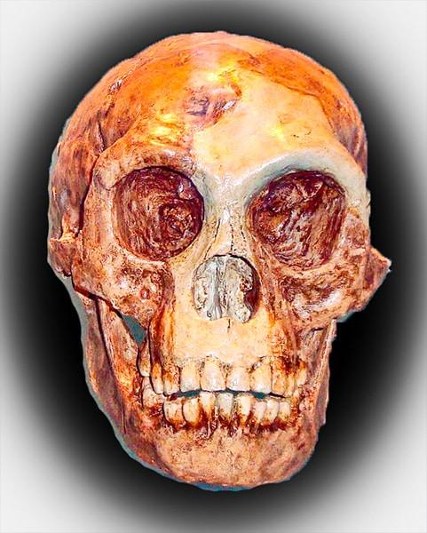 Ricostruzione del cranio del piccolo Uomo di Flores. Foto: Waponaponda CC BY SA 3.0