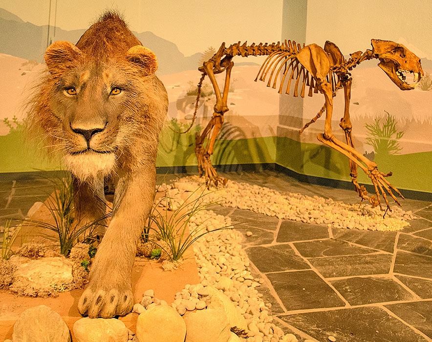 Ricostruzione di leone delle caverne in base allo scheletro che vedete sul fondo ed è la ricostruzione dell'originale scoperto a Siegsdorf, in Baviera. Mostra nella fortezza Ehrenbreitstein di Koblenz, Germania 2016 - Foto: Reimund Schertzl