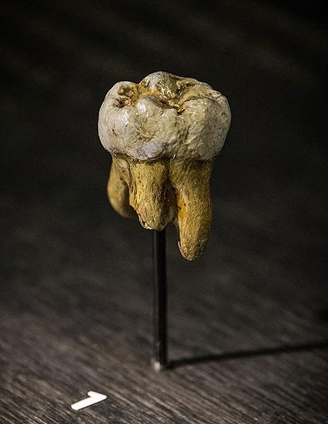 Replica del dente dell'Uomo di Denisova scoperto nella grotta omonima nel 2000. Museo di Scienze Naturali di Bruxelles. Foto: Thilo Parg CC-BY-SA 3.0