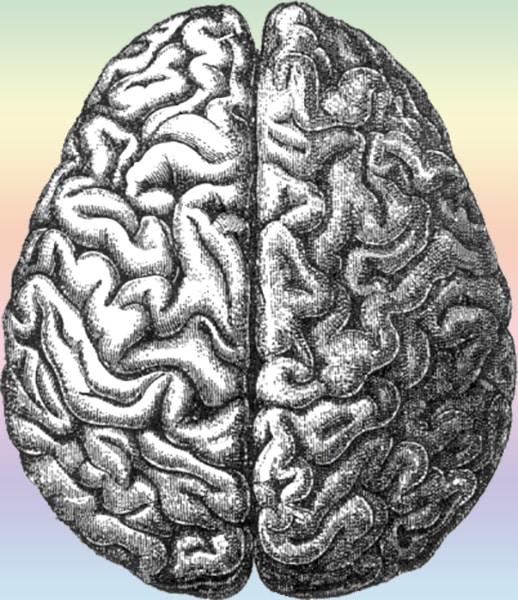 I due emsferi del cervello umano, su cui sono ben visibili le circonvoluzioni piuttosto complesse.